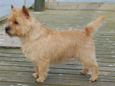 cairn terrier cairn lodge Bailey