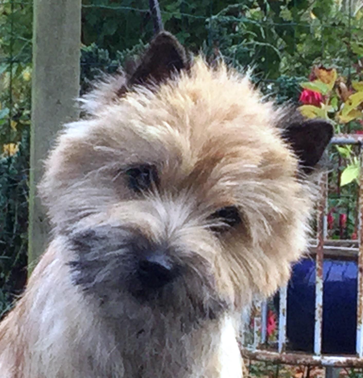 Kennel Nicktime - Cairn Terrier